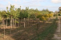 Parcelle arbres d'alignement
